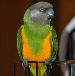 Senegal-Parrot-Breed-245x300
