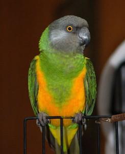 Senegal-Parrot-Breed-245x300